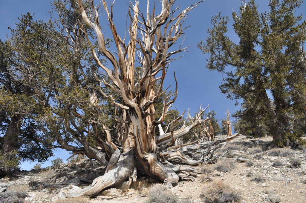 Ancient Bristle Cone Pine Forest
