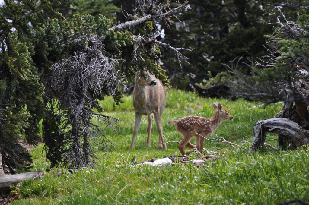 Deer, Olympic National Park, Washington, USA