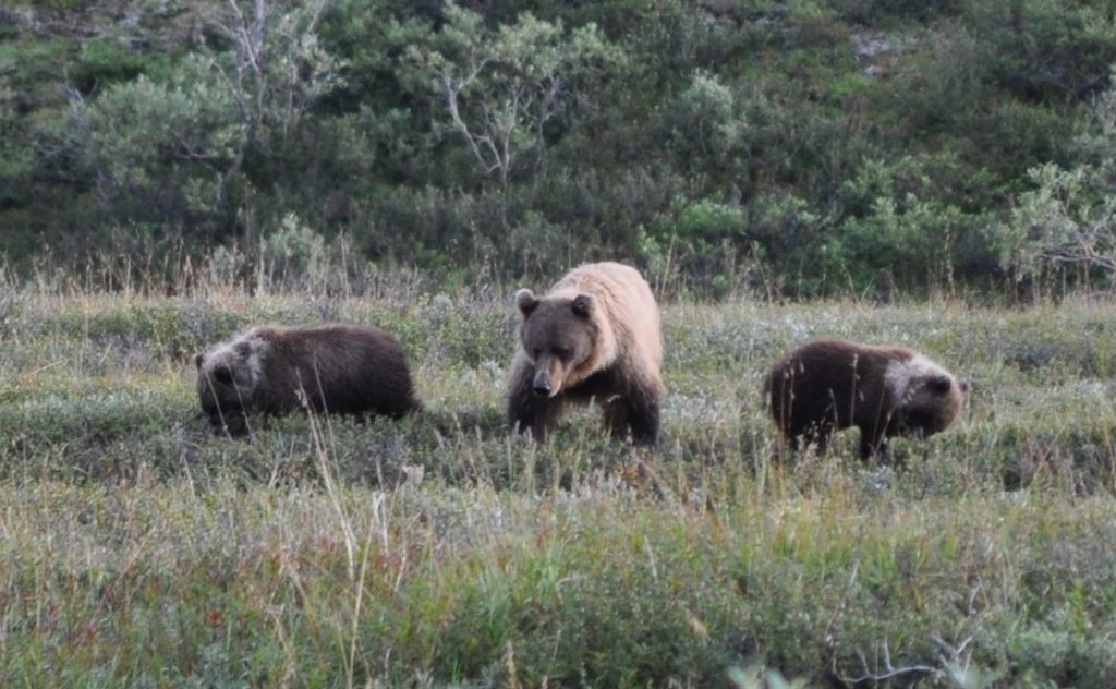 Grizzly Bears in Denali National Park, Alaska