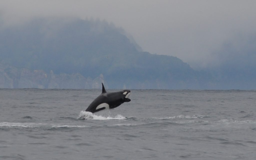 Orca breaching in Kenai Fjords National Park, Alaska
